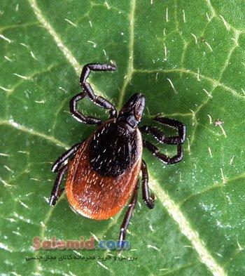 بیماری لایم سخت کنه گزش باکتری ضایعه چشمی شکل عفونت کاندوم محافظت Lyme Disease